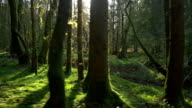 Sun shining through the mossy tree trunks video