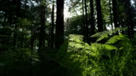 SLOW MOTION: Sun shining through tree trunks in the forest video
