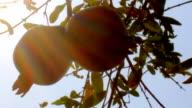 sun through ripe fruit bunches video