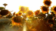 Sunbeam Sunflowers video
