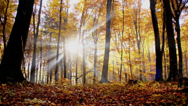 SLO MO Sunbeams behind autumn trees video
