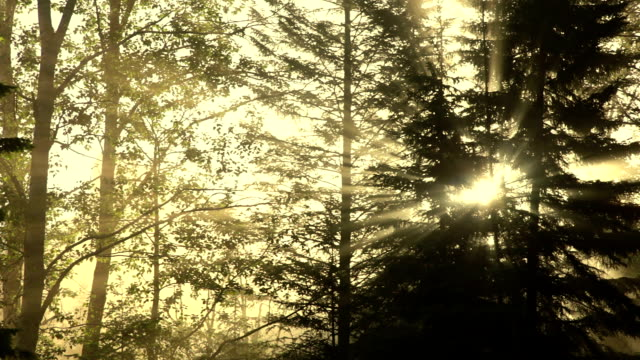 Sunbeams filtering through forest video