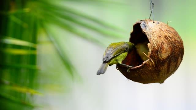 Sunbird perching on coconut shell feeder eating banana. video