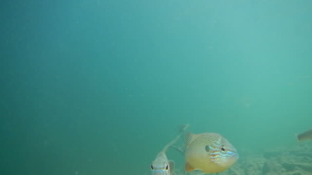 Sunfish video