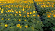 Sunflower Aerial View video