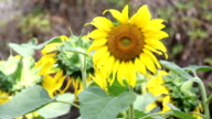 Sunflower and bug video