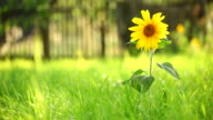Sunflower and grass video