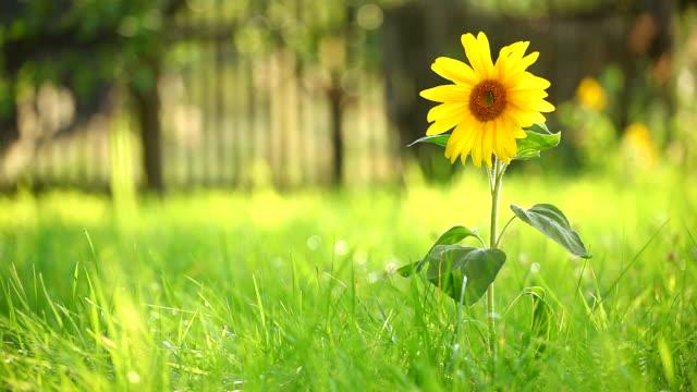 Sunflower and grass video