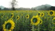 sunflower at wat khao jeen lae,  Lopburi, Thailand video