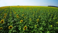 Sunflower field - aerial drone shot video