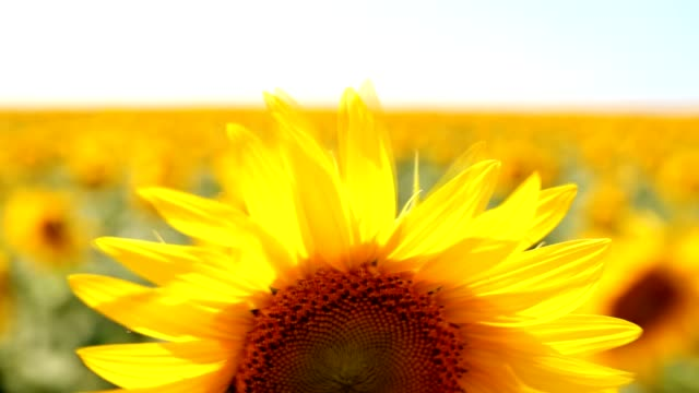 sunflower field video