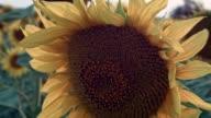 Sunflower field video