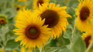 Sunflower field with selective focus video