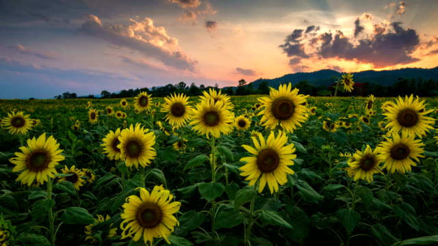 Sunflower garden in the late afternoon video