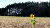 Sunflower grows in the field with wheat. video