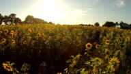 Sunflower Heaven video