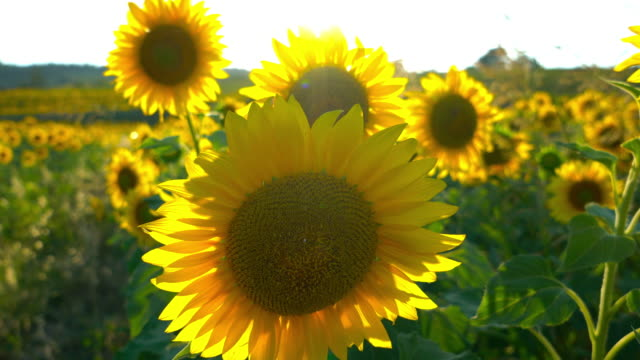 Sunflower in sunny day video