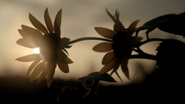 sunflower in the sunset video