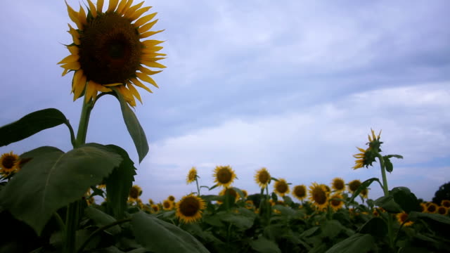 Sunflower middle shot standard focus mild wind low angle video