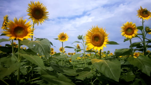 Sunflower middle shot standard focus mild wind video