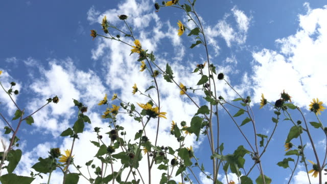 sunflower sky video