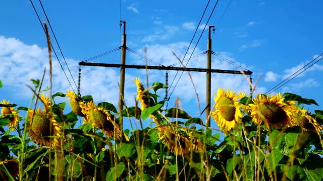 Sunflower under high-voltage power line video