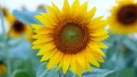 Sunflower video