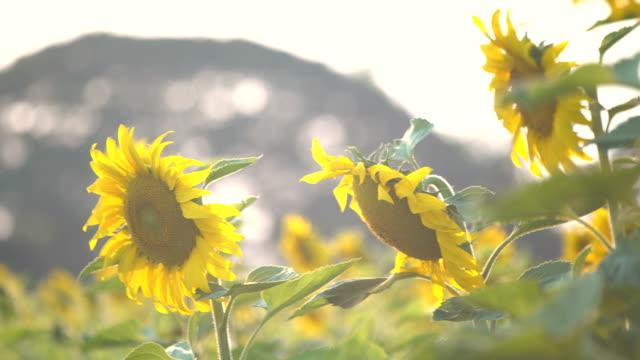 WS:sunflower video