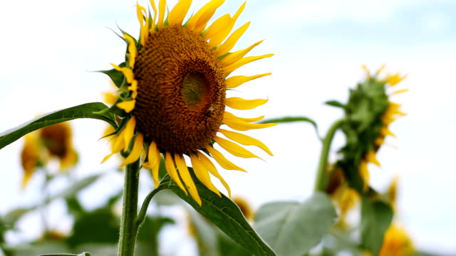 Sunflower with Bee in the feild close shot shallow focus mild wind video