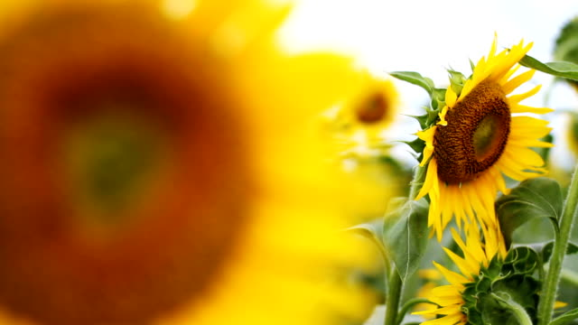 Sunflower with Bee in the feild close up right position back shallow focus video