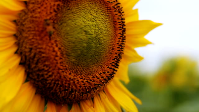 Sunflower with Bee super close up left position shallow focus video