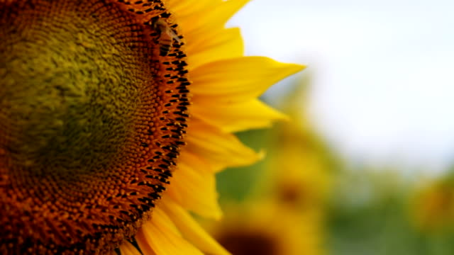 Sunflower with Bee super close up shallow focus video