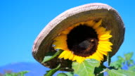 Sunflower with bee video
