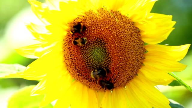 Sunflower with bees video