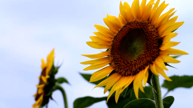 Sunflower with Beetle close shot right position shallow focus low angle video