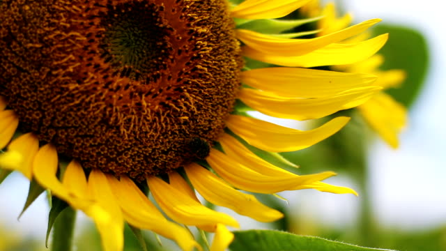 Sunflower with Beetle close up shallow focus left position video