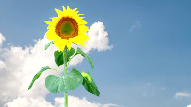 Sunflower with clouds in the background video