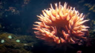 Sunflower-Like Sea Anemone On Coral Reef video