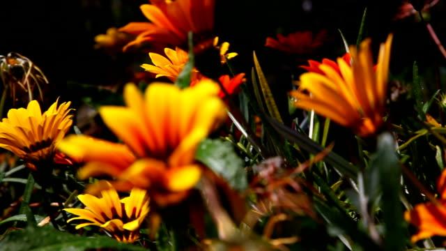 Sunflowers _Pan video