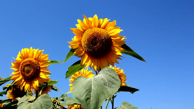 Sunflowers and blue sky video