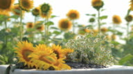 HD Sunflowers and bouquet of chamomiles video