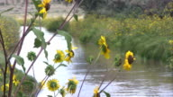 Sunflowers by a Stream video