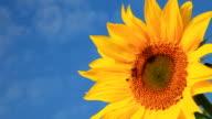 Sunflowers Close up video