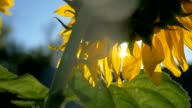 sunflowers farming in the field sunlight in nature sky blue slow motion video video