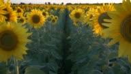 Sunflowers field at sunset lights video