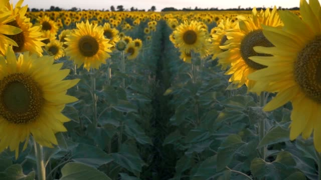 Sunflowers field at sunset lights video