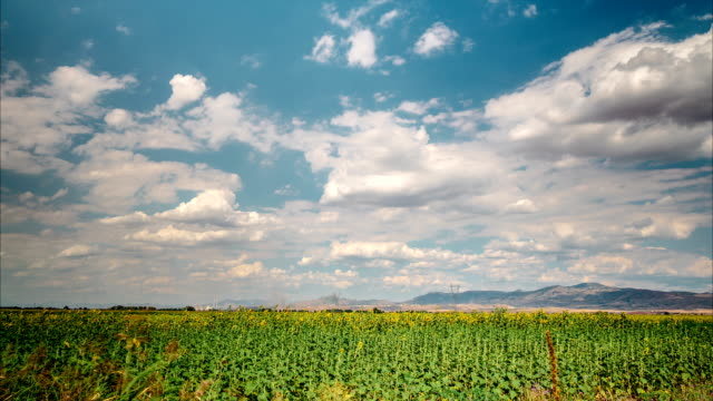 Sunflowers field under gathering clouds video