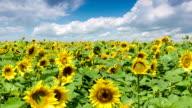 Sunflowers field video