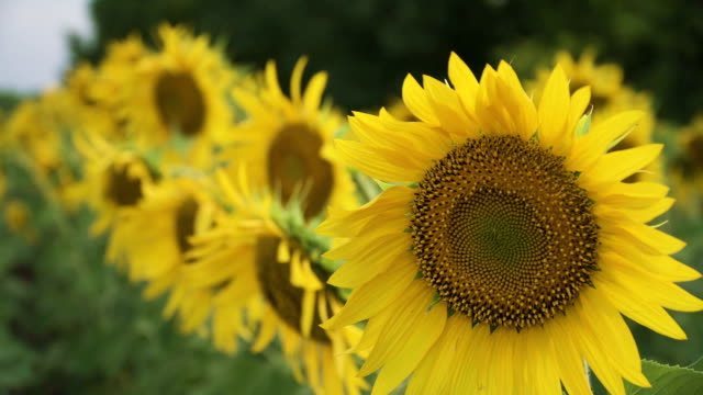 Sunflowers in a summer field close-up video