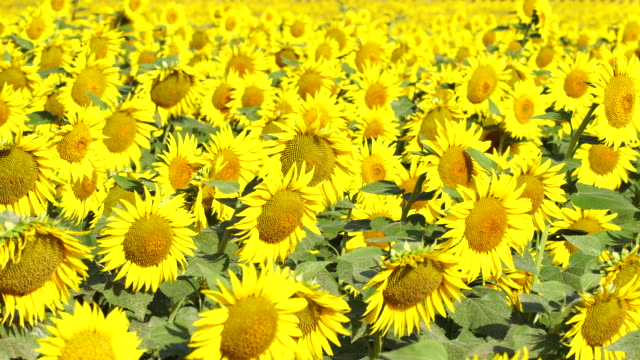 Sunflowers in a sunny day video